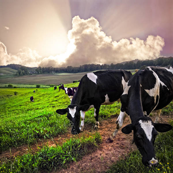 Cow And Calf Wall Art - Photograph - Dairy Cows At Sunset by Debra and Dave Vanderlaan