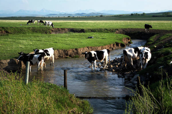 Wall Art - Photograph - Dairy Cows Drink Water In A Small by Todd Korol