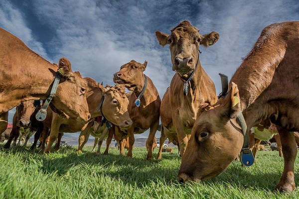 Grazing Photograph - Dairy Cows Grazing, Eyjafjordur, Iceland by Arctic-images