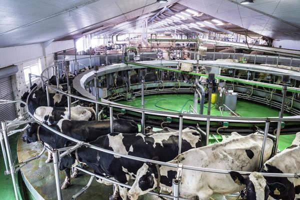 Milk Farm Photograph - Dairy Cows In Barn by Aberration Films Ltd