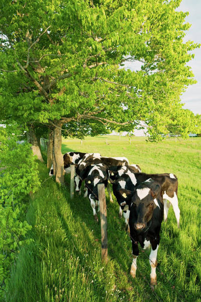 Cow Photograph - Dairy Cows by Shaunl