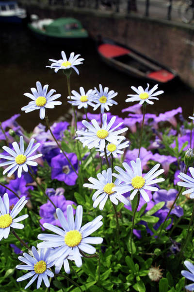Petunias Photograph - Daisies And Petunias by Chris Martin-bahr/science Photo Library