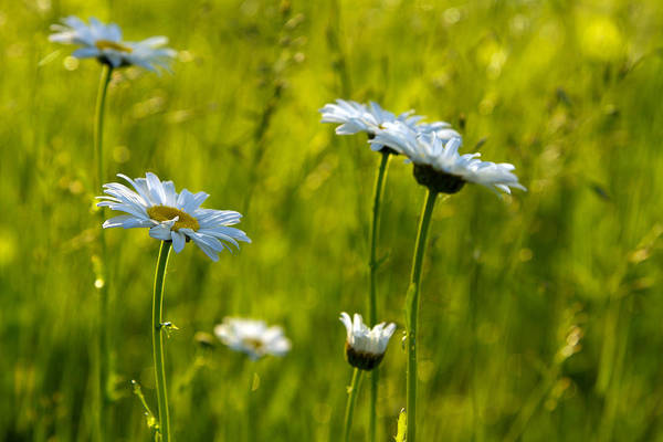 Photograph - Daisies by Heather Kenward