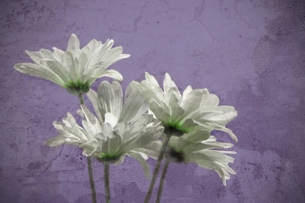 Photograph - Daisies I by Carol Erikson