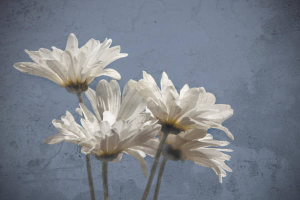 Photograph - Daisies II by Carol Erikson