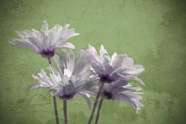 Photograph - Daisies IIi by Carol Erikson
