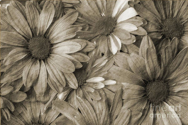 Photograph - Daisies In Sepia Tone by Jill Lang