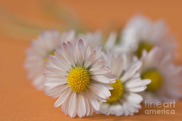 Posies Photograph - Daisies On Orange by Jan Bickerton