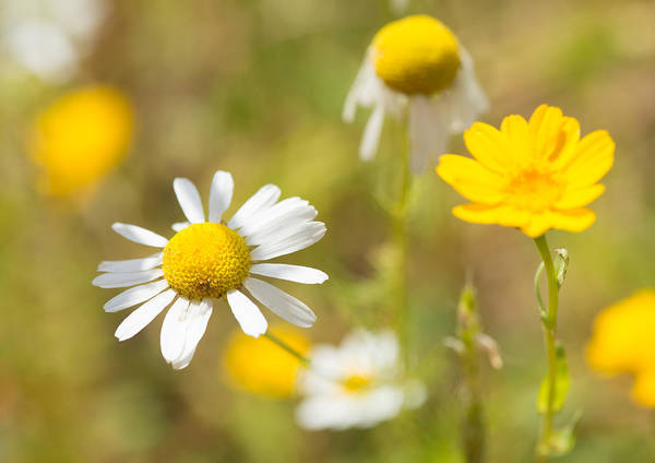 Photograph - Daisies On Summer Meadow by Matthias Hauser