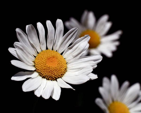 Photograph - Daisies by Rona Black