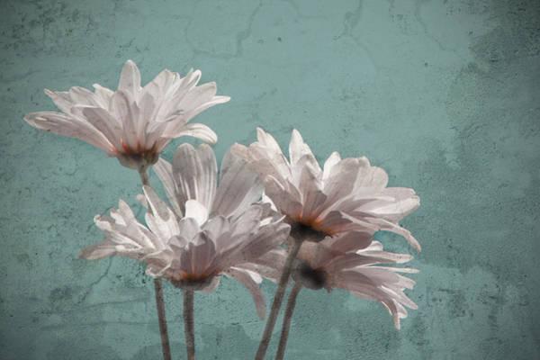 Photograph - Daisies V by Carol Erikson