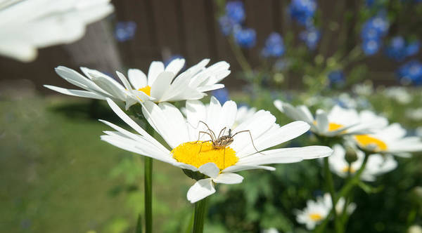 Harvestman Photograph - Daisies With Phalangiid Vistitor by Douglas Barnett