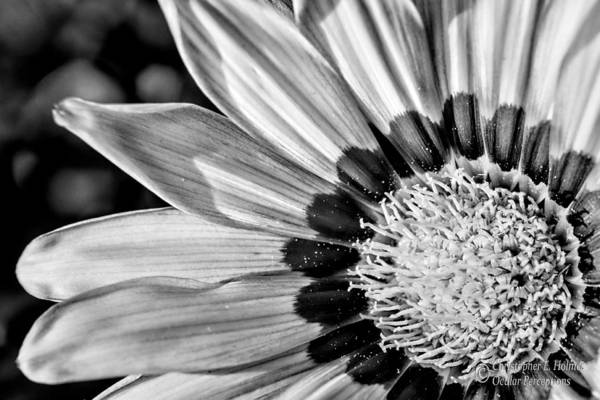 Photograph - Daisy - Bw by Christopher Holmes