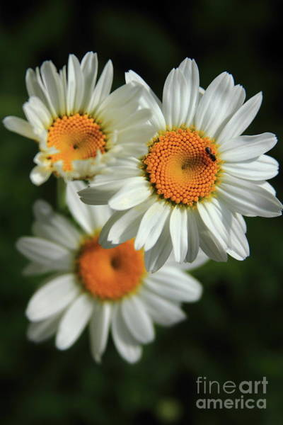 Photograph - Daisy And Friend by Reid Callaway