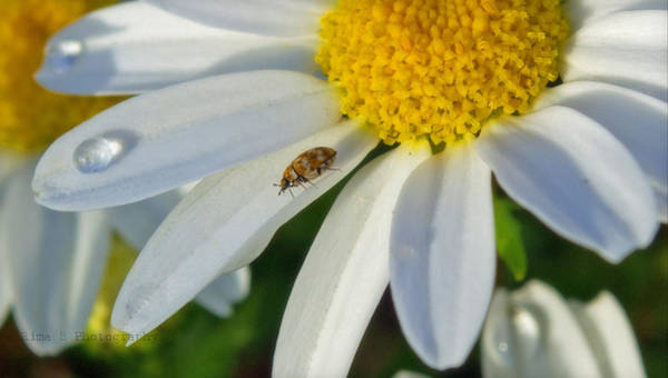 Photograph - Daisy And Its Friend 2 by Rima Biswas
