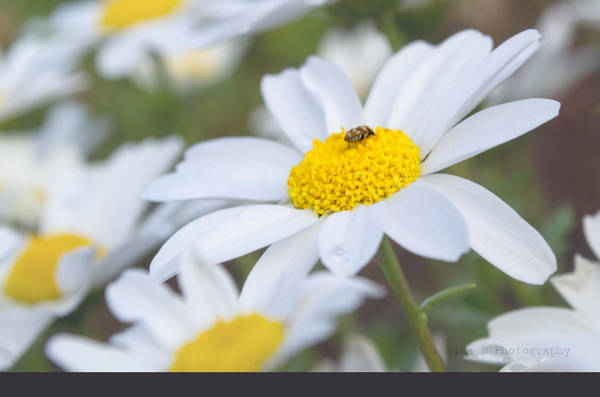 Photograph - Daisy And Its Friend by Rima Biswas