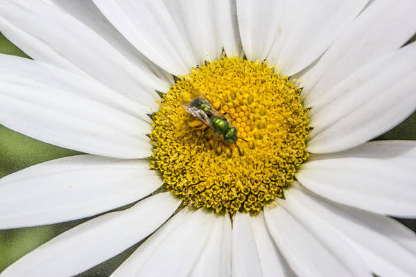 Digital Art - Daisy Bug by Photographic Art by Russel Ray Photos
