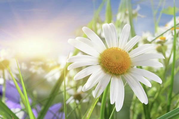 Daisy Photograph - Daisy Close-up In Sunlight by Pobytov