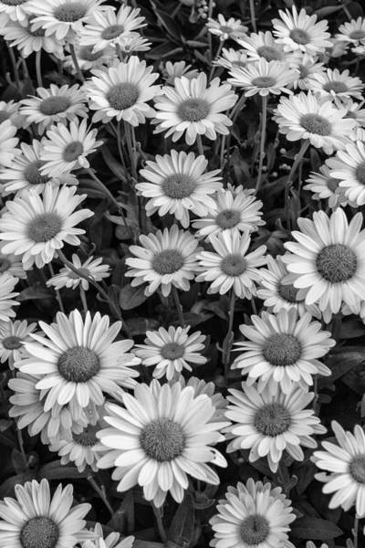 Reborn Wall Art - Photograph - Daisy Cluster Vermont Flowers In Black And White by Andy Gimino