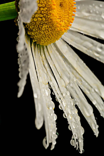 Photograph - Daisy Dew by Mary Jo Allen