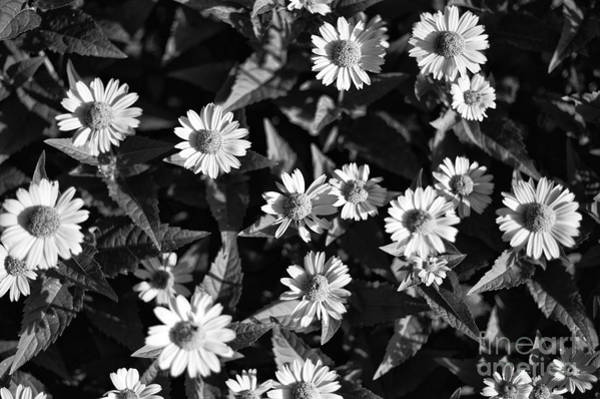 Photograph - Daisy Family Mono by John Rizzuto