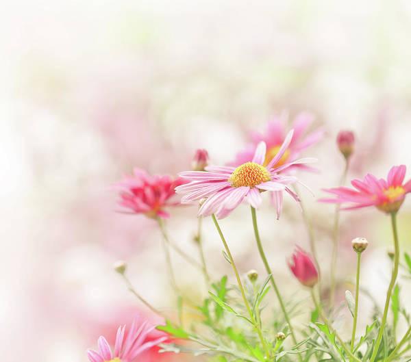 Daisy Photograph - Daisy Flowers by Jasmina007