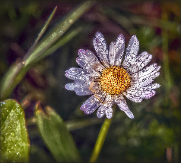 Wiese Wall Art - Photograph - Daisy by Hanny Heim