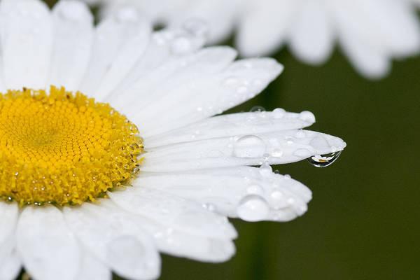 Photograph - Daisy In A Drop by Carol Erikson