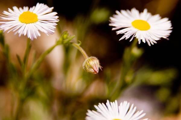 Photograph - Daisy In A Field by Steve Thompson