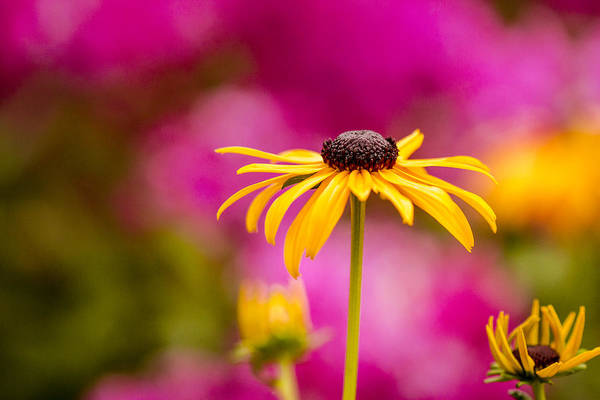 Photograph - Daisy In The Pink by Teri Virbickis
