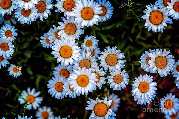 Photograph - Daisy Mae by Jon Burch Photography
