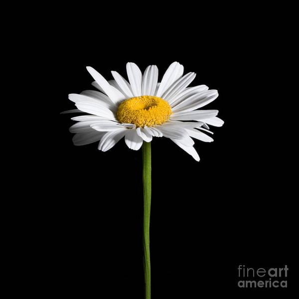 Photograph - Daisy On Black by Cindy Singleton