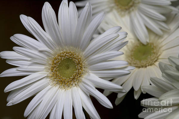 Daisy Photo Art Print