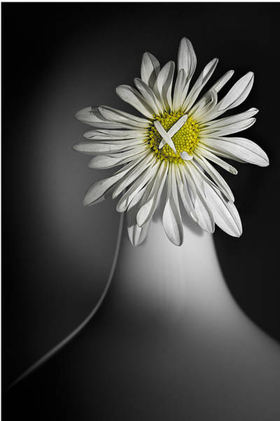 Photograph - Daisy Pom by Nancy Strahinic