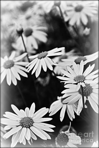 Daguerrotype Photograph - Daisy Stars by Clare Bevan