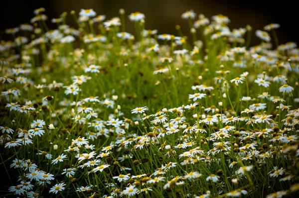 Photograph - Daisy Sunrise by Sebastian Musial