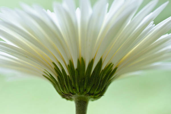 Photograph - Daisy Sweetness by Christi Kraft