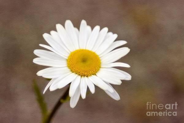 Photograph - Daisy Texture by Karin Pinkham