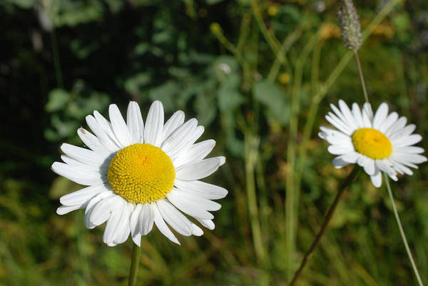 Photograph - Daisy Twins by Jan Piet