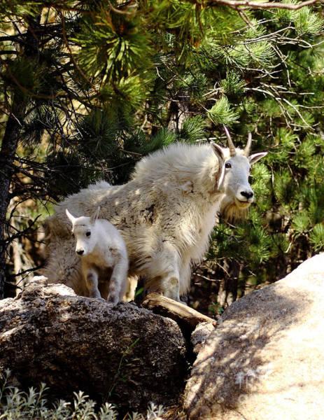 Goat Rocks Photograph - Dakota Mountain Goats by Robert Frederick