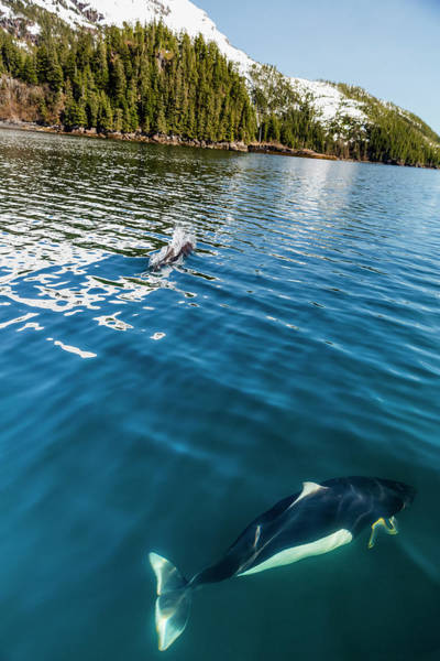 Dall S Porpoises Swimming Art Print