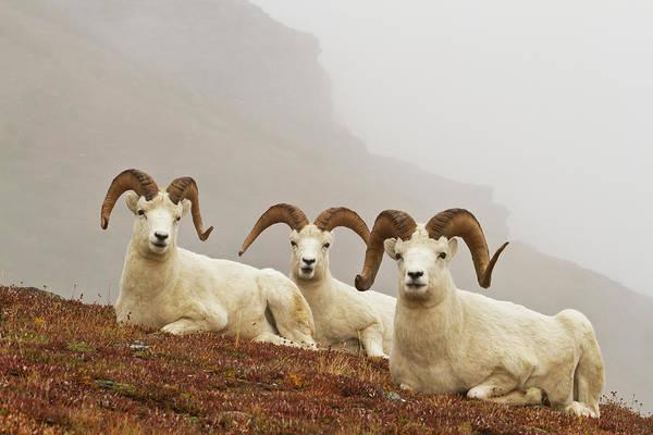 Resting Photograph - Dalls Sheep Ovis Dalli Rams Resting On by Gary Schultz / Design Pics
