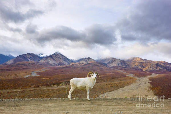 Mp Photograph - Dalls Sheep Ram Denali National Park by Yva Momatiuk John Eastcott