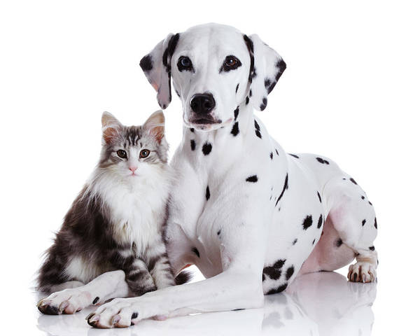 Photograph - Dalmatian Dog And Norwegian Forest Cat by Tetsuomorita