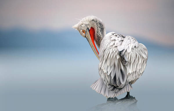 Wall Art - Photograph - Dalmatian Pelican At Dawn by Xavier Ortega