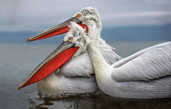 Two Birds Photograph - Dalmatian Pelicans by Xavier Ortega