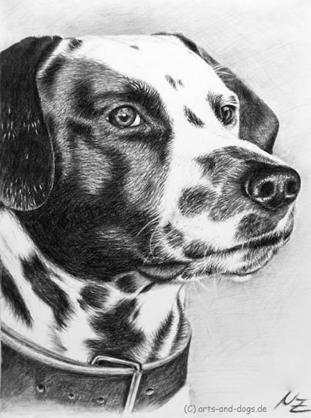Hund Drawing - Dalmatian Portrait by Nicole Zeug