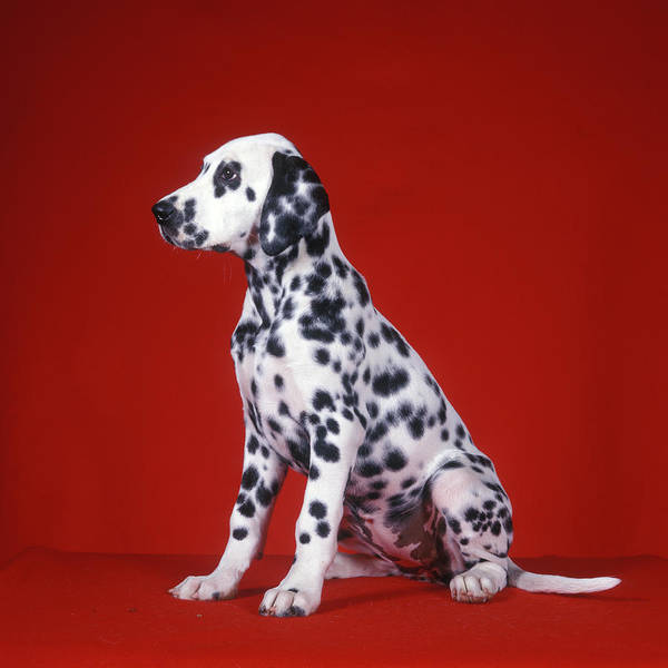Wall Art - Photograph - Dalmatian Puppy Sitting Red Background by Vintage Images