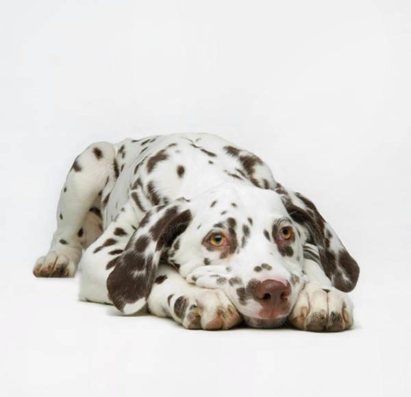 Dalmatian Dog Photograph - Dalmaton Pup by Patricia Doyle