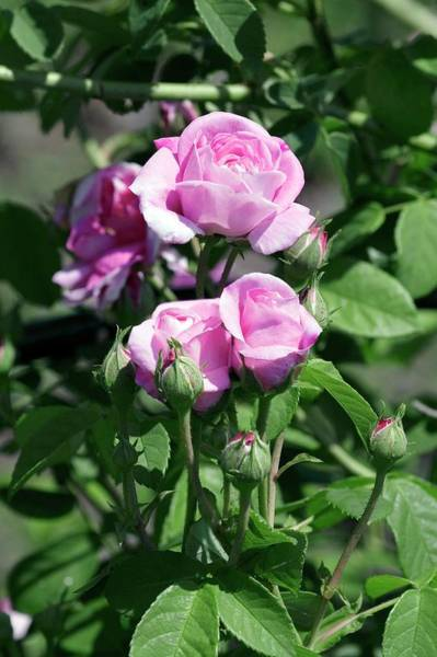 Rose In Bloom Photograph - Damask Rose (ispahan) by Brian Gadsby/science Photo Library